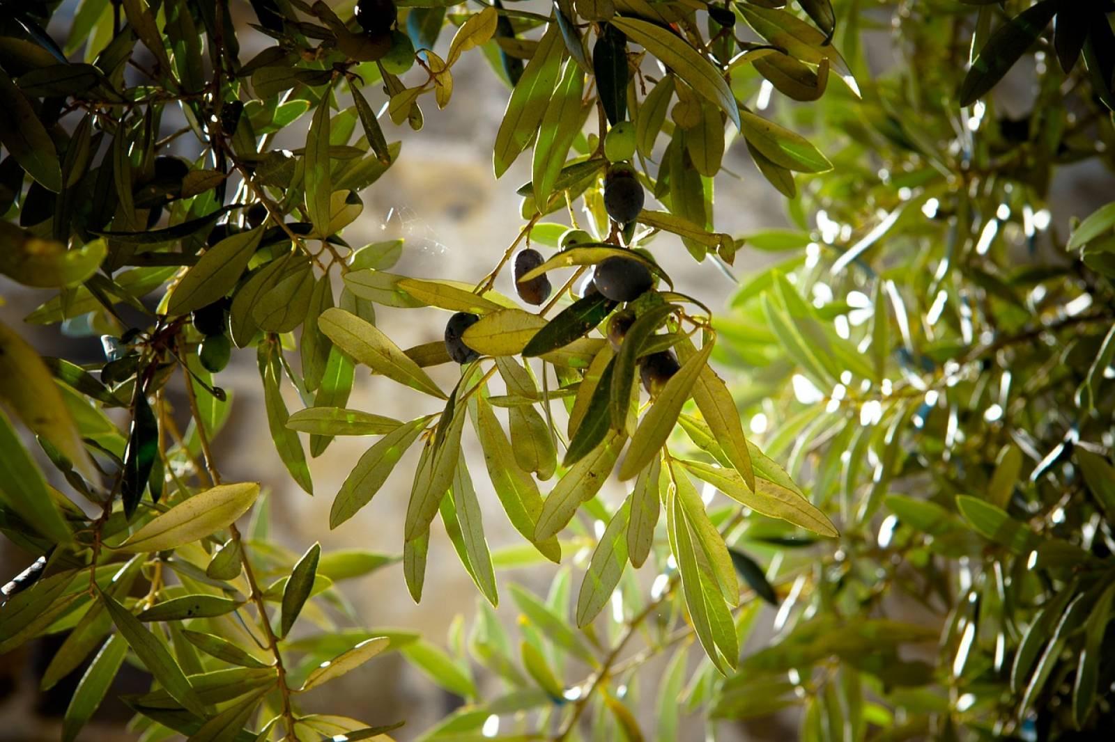 Jardinerie Pas Cher Toulouse l'olivier centenaire macrobonsai taillé en plateau : un